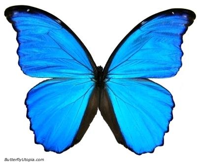 Blue morpho butterfly tattoo - photo#23